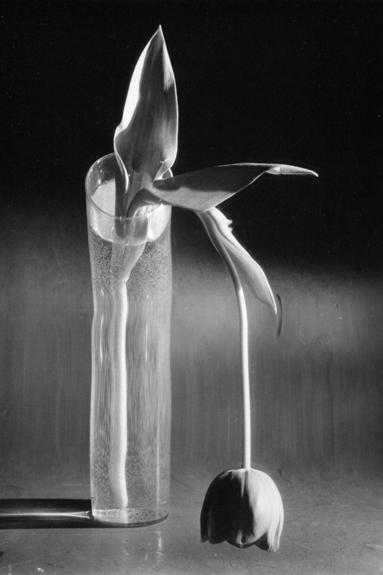 Melancholische Tulpe (1939) © Andre Kertesz