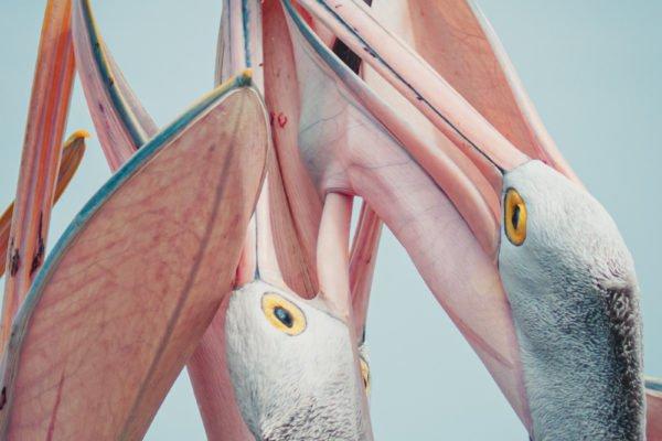 Color photo, Pesc-y Pelicans, New South Wales, Australia, by Chris Beadle