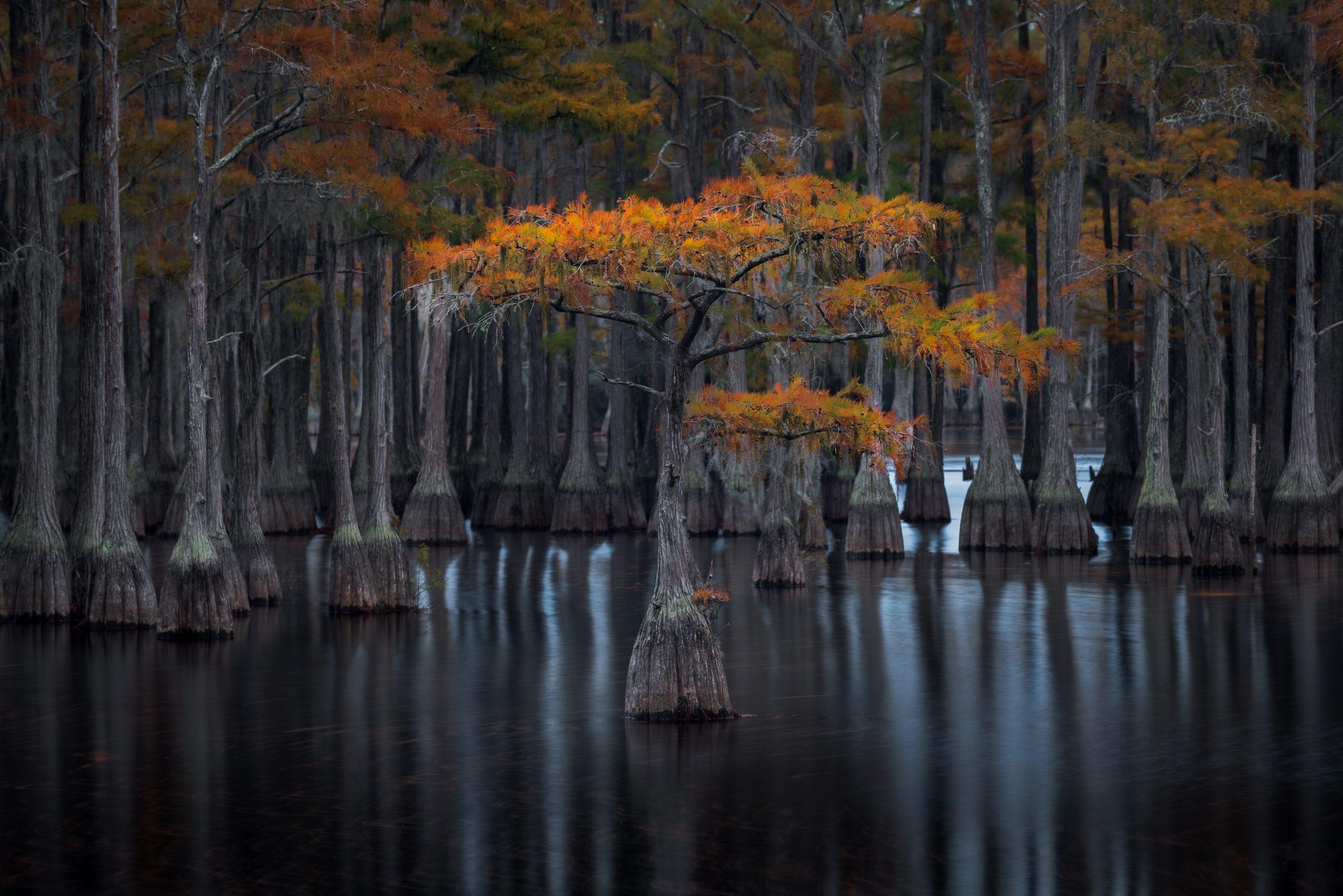 fotografia paesaggistica a colori di un cipresso in Florida, USA, di Donald Pelliccia