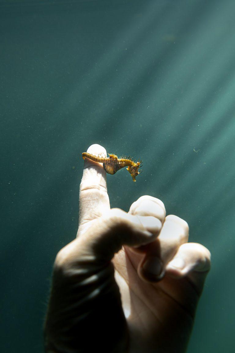 Fotografía submarina en color de Matthew Bagley. Pequeño caballito de mar, mano, dedo, océano, luz, bellas artes, marino