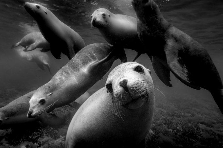 Fotografía submarina en blanco y negro de Matthew Bagley. Leones marinos, océano, marinos