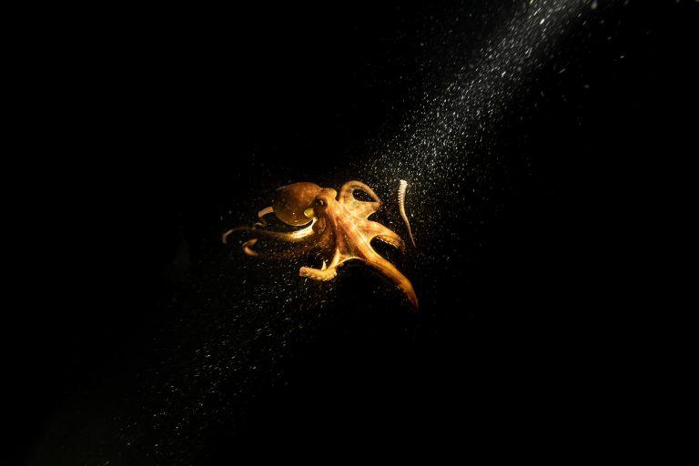 Fotografía submarina en color de Matthew Bagley. Pulpo, luz, océano, bellas artes.