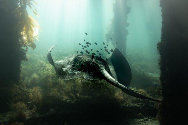 Fotografia subacquea a colori di Matthew Bagley. Raggio, Sott'Acqua, Oceano, Alghe