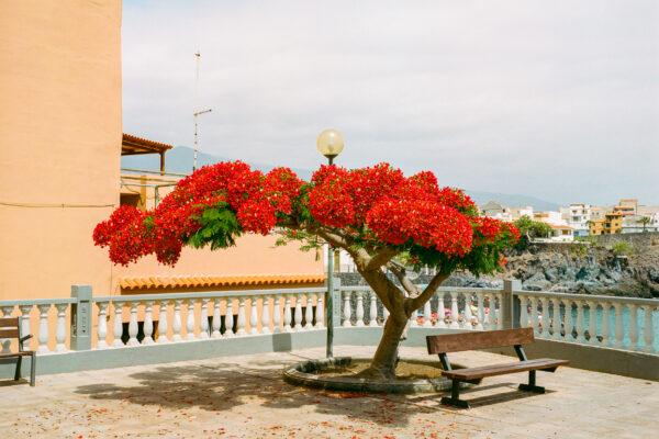 Fotografia paesaggistica a colori di medio formato di un albero in fiore nelle isole Canarie di Marco Di Stefano