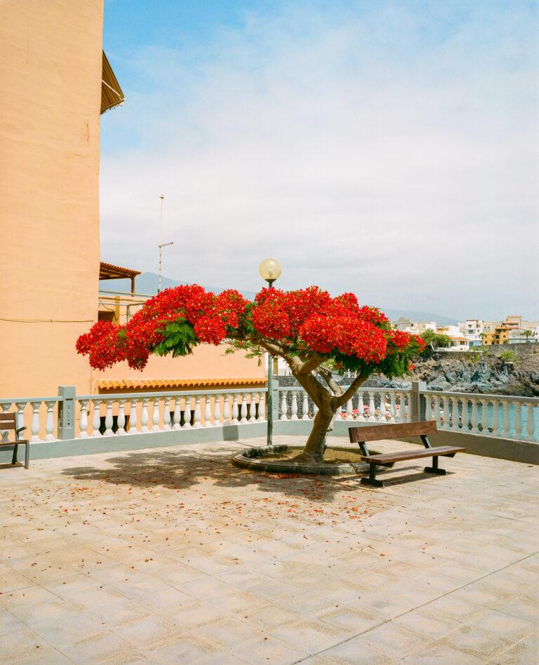 Mittelformat-Farbfotografie im Querformat eines blühenden Baumes auf den Kanarischen Inseln von Marco Di Stefano
