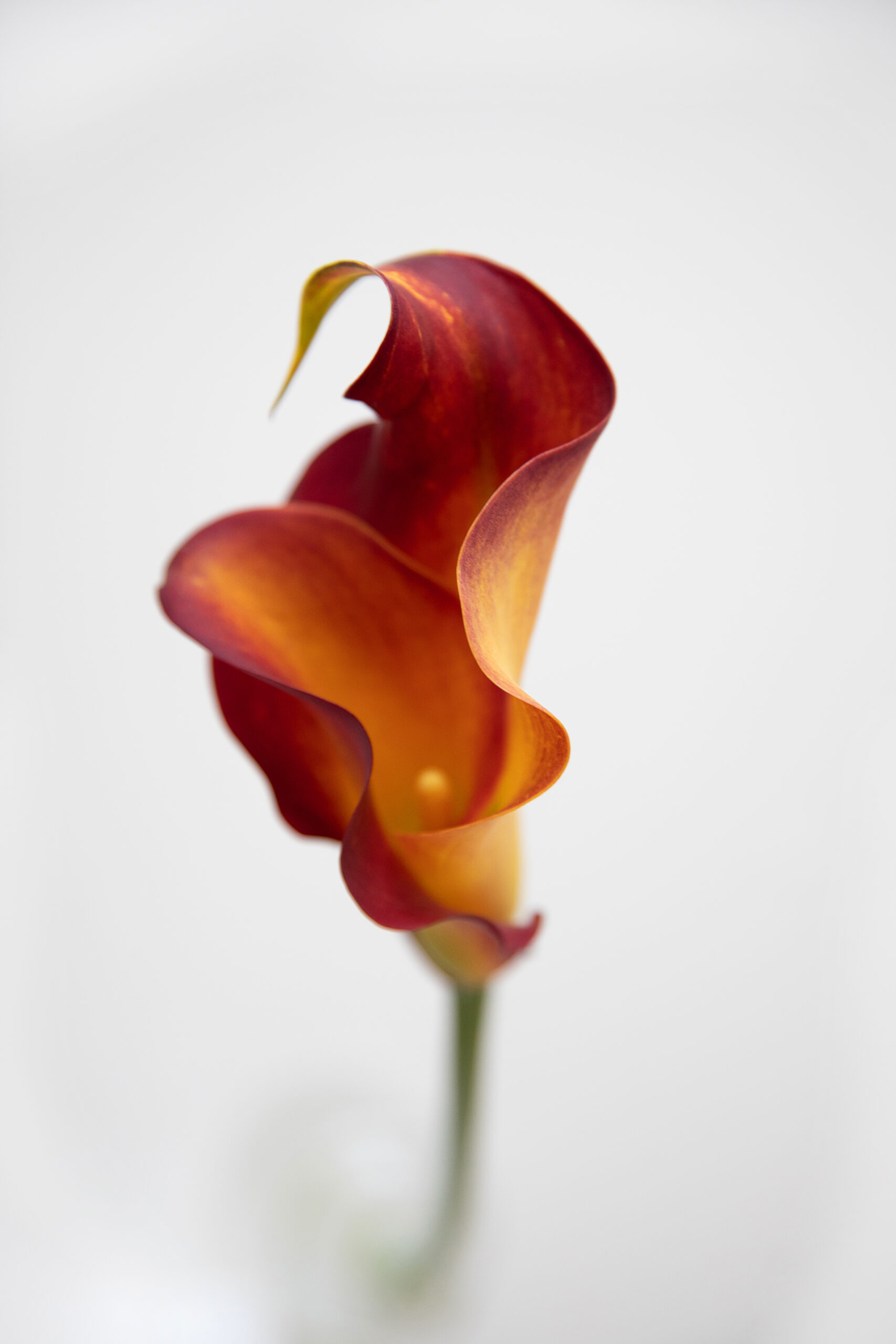 阿纳斯塔西娅·埃尔莫连科 (Anastasia Ermolenko) 拍摄的一朵花的特写彩色照片