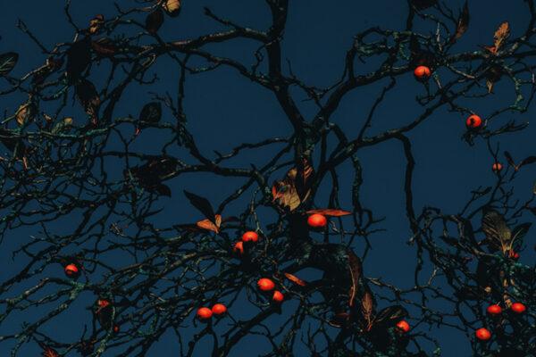 Francesco Gioia 的红色果实树的彩色照片
