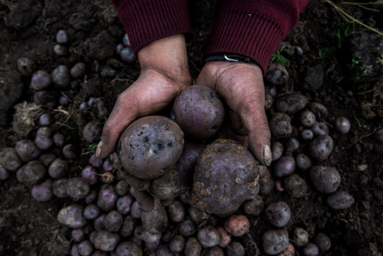 Color photo by Luis Fabini from the series Harvest. Potato harvest, Andes Mountains, Peru