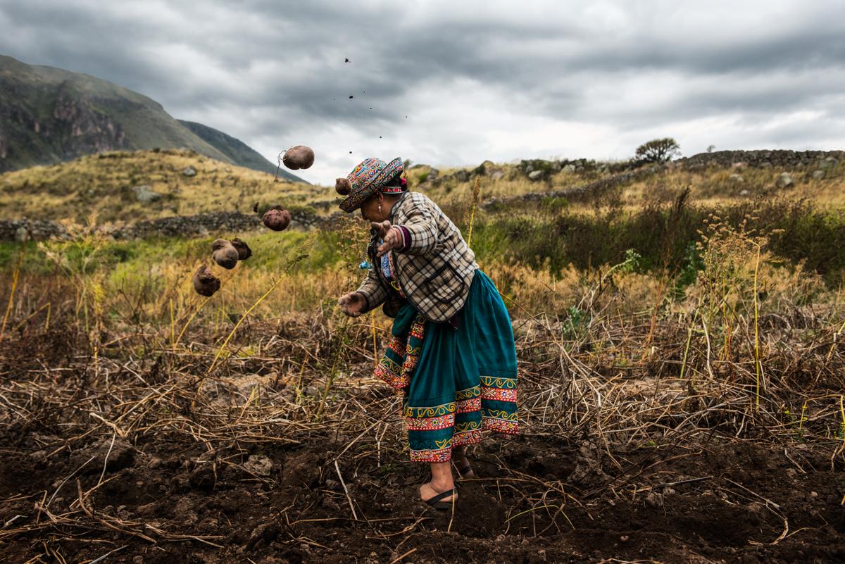 Farbfoto von Luis Fabini aus der Serie Harvest. Frau pflanzt Kartoffeln, Anden, Peru